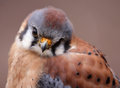American Kestrel Profile Royalty Free Stock Photo