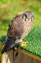 American Kestrel Sits on Box Perch Royalty Free Stock Photography