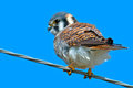 American kestrel sitting on a wire Stock Photo