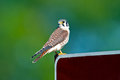 American kestrel standing sign Stock Photography