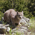 American Lynx Royalty Free Stock Photos