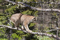 American Lynx cat Royalty Free Stock Images