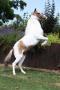 American miniature horse prancing skewbald in the garden Royalty Free Stock Photos