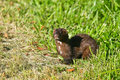 American Mink Stock Photography