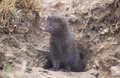 American mink mustela vison single mammal Royalty Free Stock Images
