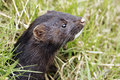 American mink mustela vison single mammal head shot captive Stock Photos