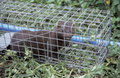 American mink mustela vison single mammal in trap Royalty Free Stock Photography