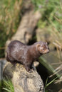 American mink mustela vison sussex spring Royalty Free Stock Images