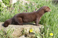 American mink, Mustela vison Royalty Free Stock Photo