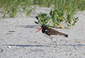 American oystercatcher on beach in long island ny Stock Photos