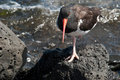 American oystercatcher on one foot resting by the sea at mid day seen a hike Royalty Free Stock Images