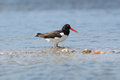 American Oystercatcher on a Sandbar Royalty Free Stock Image