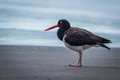 American oystercatcher standing on beach beside sea Royalty Free Stock Photo
