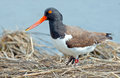 American oystercatcher standing in the march Stock Photos