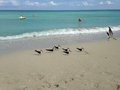 American Oystercatchers at South Beach in Miami. Royalty Free Stock Photo