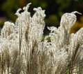 American pampas grass in back light Stock Photo