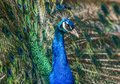 American Peacock has beautiful eye spot pattern in feathers Royalty Free Stock Photo