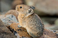 American pika close up image of resting on rock pile Royalty Free Stock Photo