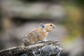 American pika ochotona princeps wild feeding on grass in a talus field kananaskis country alberta canada Stock Photos