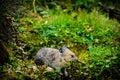 American pika ochotona princeps wild feeding on grass in a talus field kananaskis country alberta canada Royalty Free Stock Photos