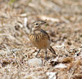 American pipit the is a small songbird found on both sides of the northern pacific it is also known as the buff bellied this Royalty Free Stock Images