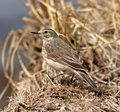 American pipit the is a small songbird found on both sides of the northern pacific it is also known as the buff bellied Royalty Free Stock Photos