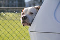 American pit bull terrier an sits in the back of a hatchback keeping watch Royalty Free Stock Photos