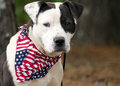American Pitbull Bulldog mixed breed dog with American Flag Bandana