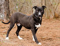 American Pitbull Terrier Bulldog dog