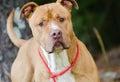 American Pitbull Terrier Bulldog