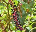 American Pokeweed Royalty Free Stock Image