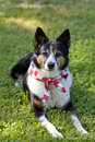 American Pride - Dog with Flag Scarf Bandanna Stock Image