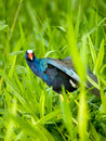 The American Purple Gallinule Stock Photos