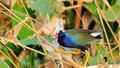 American Purple Gallinule Bird Royalty Free Stock Photos