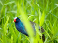 The american purple gallinule porphyrio martinica in tortuguer tortuguero costa rica Royalty Free Stock Photography