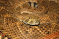American rattlesnake Royalty Free Stock Photos