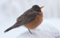 American red robin in snow standing late snowfall waiting for spring Royalty Free Stock Image