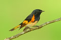 American redstart, Setophaga ruticilla, New World warbler from Mexico. Tanager in the nature habitat. Wildlife scene from tropic n Royalty Free Stock Photo