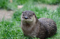 American river otter an rests in the grass Royalty Free Stock Photos