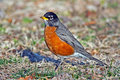 American Robin Royalty Free Stock Images