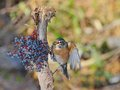 American robin beautiful eating blueberries Stock Photo