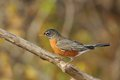 American robin beautiful resting perched on a branch Stock Photos