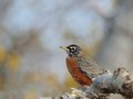 American robin beautiful resting perched on a branch in front of creamy background Royalty Free Stock Photography