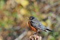 American robin beautiful resting perched on a piece of wood Stock Photos