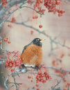 American robin in berry tree Stock Photography