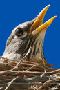 American robin captured in its nest while singing a tune Royalty Free Stock Photo
