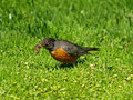 American Robin Catching Earthworms Royalty Free Stock Image