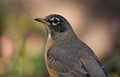 American robin close up portrait type photograph of a beautiful pausing to feed in a midwestern garden during fall migration Stock Images