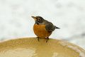 American robin drinking during snowstorm Royalty Free Stock Photo