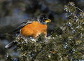 American robin eats berries spruce tree Stock Photos